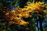 Early Fall Birch Branch Vivid Colors tb0901avr.jpg