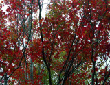 Dark Red Maples Showing in Early Fall tb0917bnr.jpg