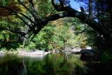 Arched Birch Tree over Williams River Scene tb1005krx.jpg