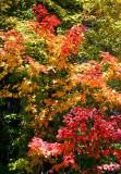 Marvelous Mountain Maple Colors tb1001kux.jpg