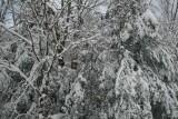 Snowy Mixed Timber on Cranberry Mtn tb0111lfr.jpg