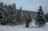 Snowy Spruce in Charles Creek Valley tb0111lmr.jpg