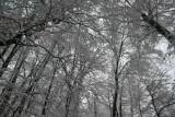 Skyward Frosty Timber on Gray Skies tb0211ksr.jpg