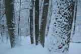 Oak and Beech Trees in Winter Forest Scene tb0211lnr.jpg