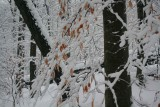 Leaning Timber and Snowy Beech Leaves Mtn Scape tb0211hbr.jpg