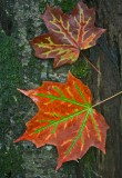 Curiously Colored and Veined Maple Leaves v tb0912thr.jpg