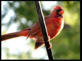 Baby Huey, The Cardinal