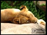 Lioness Rest