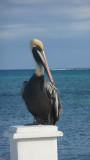 Close-up of the pelican.