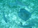 Sting ray swimming among fish (they look like sharks).