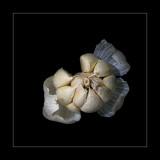 Still Life - Garlic
