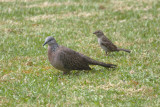 Ring-necked Dove and 'friend' 0451e.jpg