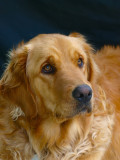 Bella has matured to become a beautiful example of a classic golden retriever.