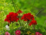 Geraniums In The Backyard