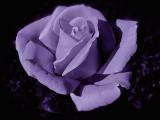 Painted Rose - Purple.jpg