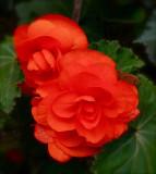2009 Begonia -2