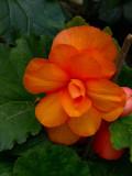Amber Begonia.jpg
