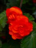 Red Begonia 1.jpg