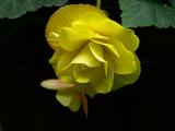 Exquisite Yellow Begonia.jpg