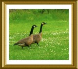 Wild Geese On The Move