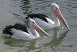Australian Pelican 0033.jpg