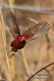 Crimson Finch 0834