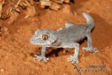 Southern Spiny-tailed Gecko - Strophurus intermedius 1743