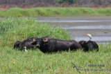 Asian Water Buffalo
