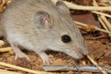Tropical Short-tailed Mouse