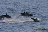 Long-snouted Spinner Dolphin