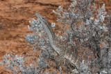 Varanus gouldii 1521.jpg
