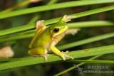 Eastern Dwarf Tree Frog - Litoria fallax 4983