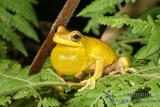 Tree Frogs - Litoria spp.
