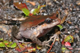 Red-groined Frog - Paracrinia haswelli