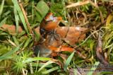 Freshwater Crayfish - Engaeus orientalis