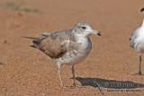 Black-tailed Gull a9624.jpg