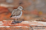 Red-necked Stint a7421.jpg