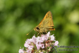 Greenish Grass Dart - Ocybadistes walkeri