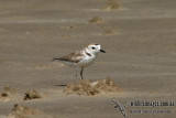 White-faced Plover - Charadrius spp.