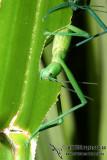 Peppermint Stick Insect - Megacrania batesii