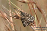 Golden Sun Moth - Synemon plana