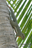 Plantain Squirrel - Callosciurus notatus