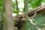 Common Treeshrew - Tupaia glis
