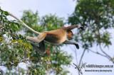 Proboscis Monkey - Nasalis larvatus