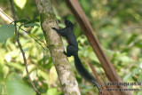 Prevost's Squirrel - Callosciurus prevostii