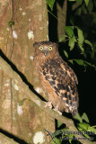 Buffy Fish-Owl - Bubo ketupu