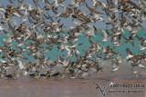 General Shorebirds