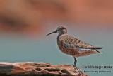 Curlew Sandpiper a5695.jpg