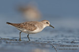 Red-necked Stint a4025.jpg
