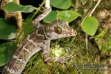 Peter's Forest Gecko - Cyrtodactylus consobrinus